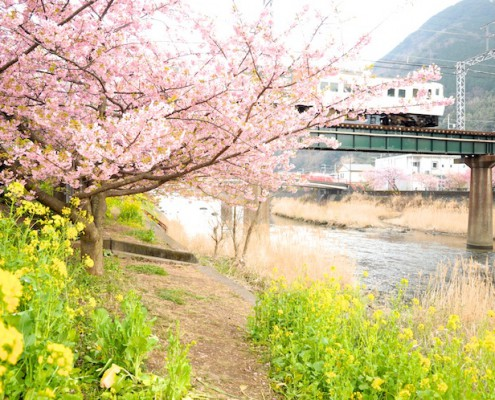 伊豆急線と河津桜
