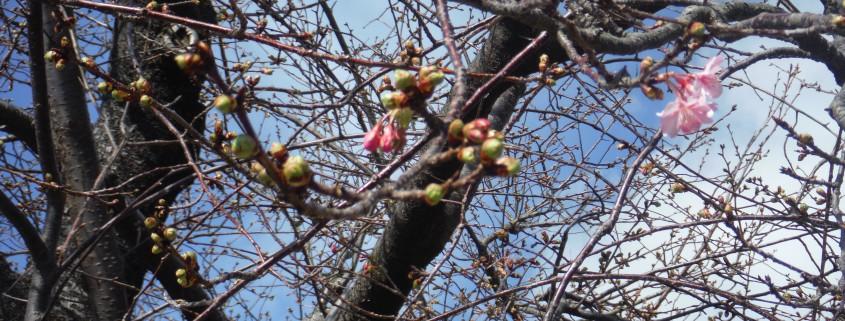 河津桜原木咲き始め