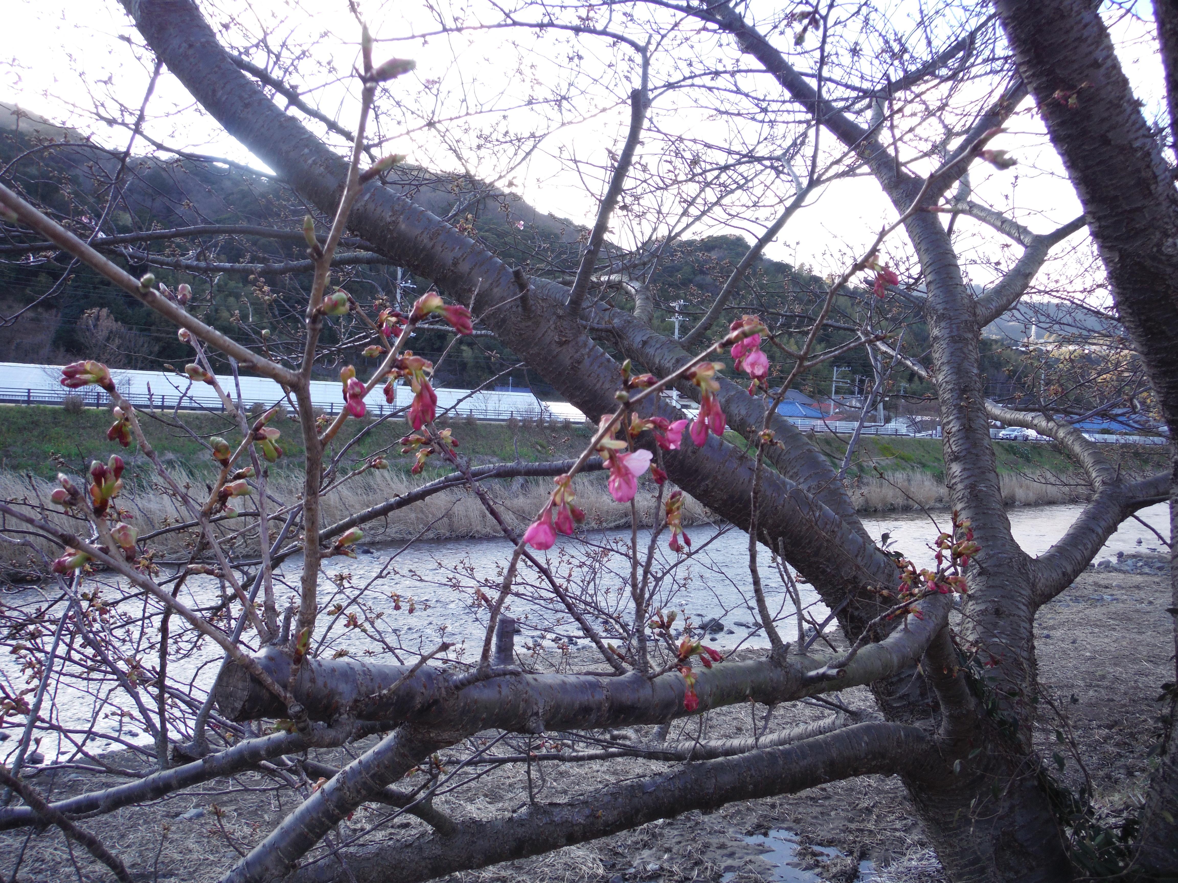 河津桜62号2